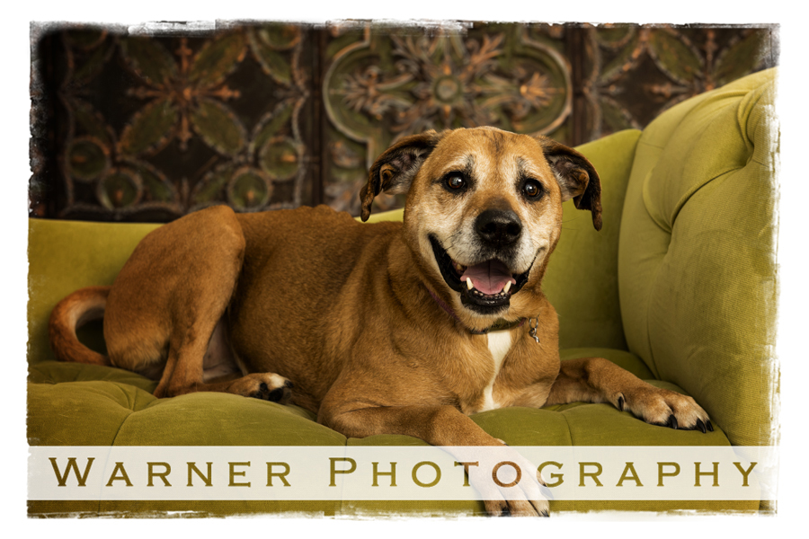 A Pet Special portrait of a Lab/Boxer mix named Tilly at the Warner Photography Studio on a green couch
