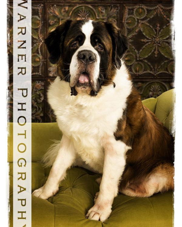 Watson-Pet-Portrait