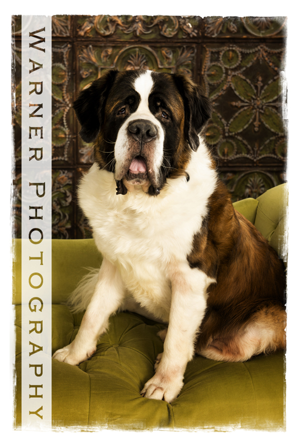 A studio pet portrait of a St. Bernard named Watson at the Warner Photgraphy Studio on a green couch