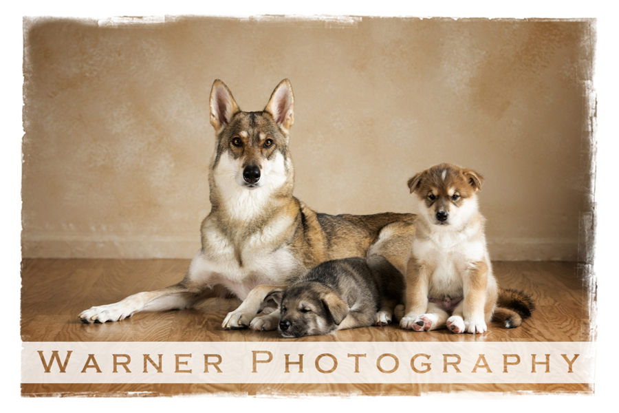 A pet portrait of a dog named Zoey and her boy puppies at the Warner Photography Studio