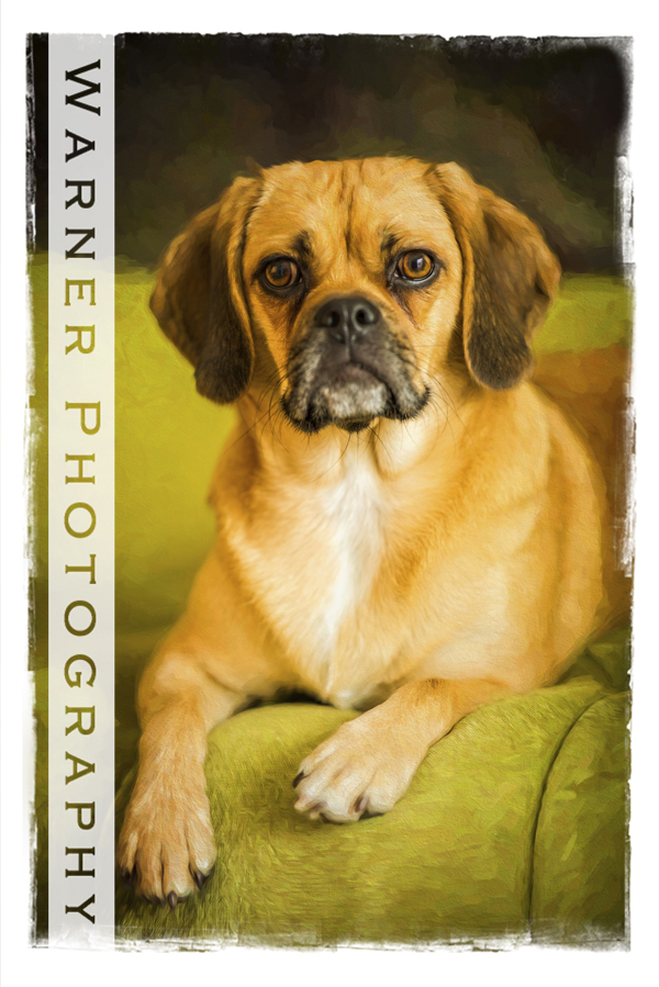 A studio pet portrait of a dog named Frankie on a lime green couch